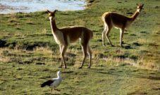 Fauna del Perú