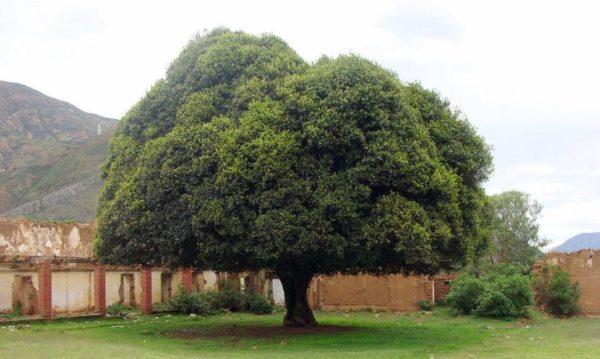 aprende sobre el árbol nacional del perú